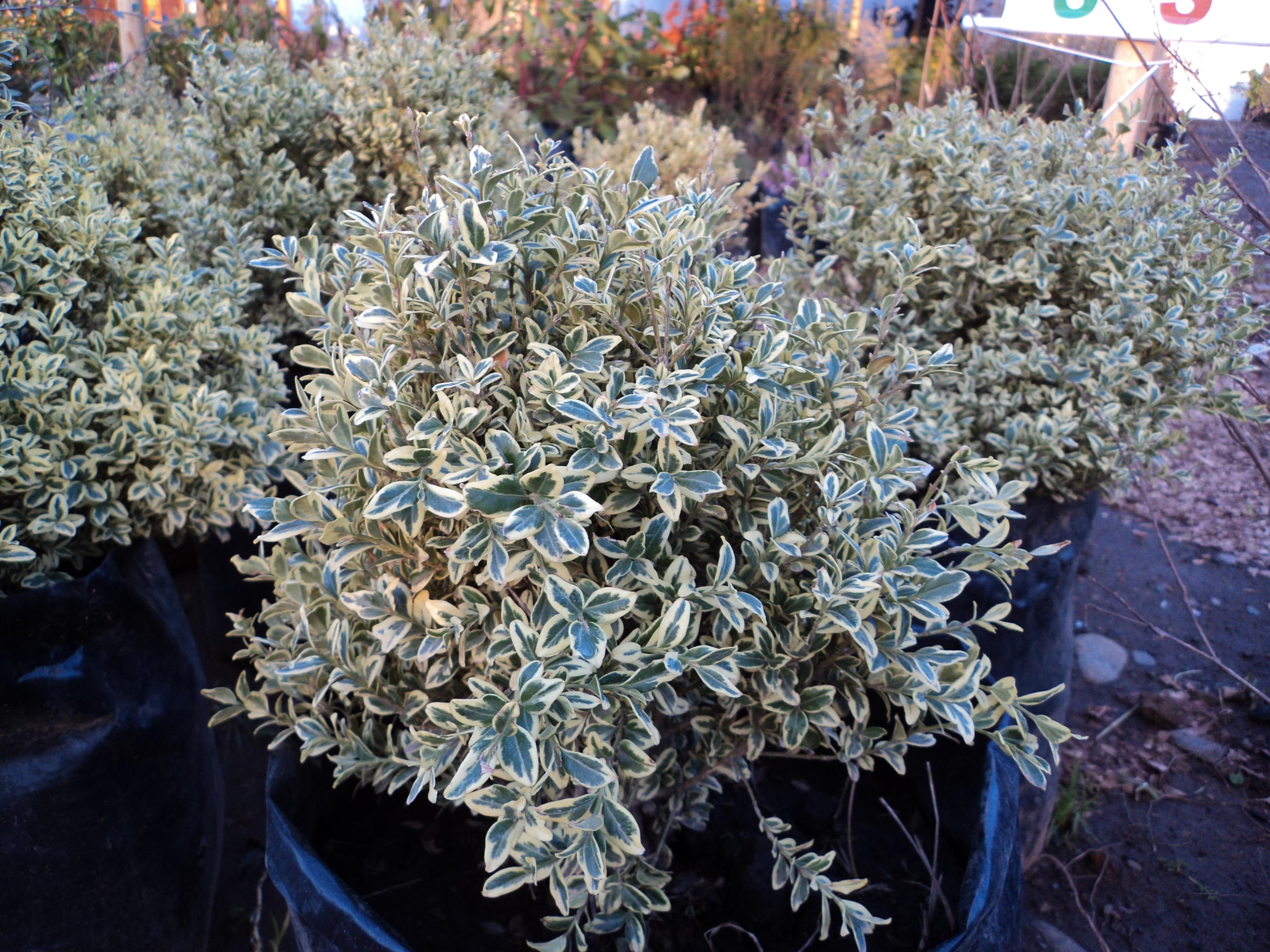 Jardin plantas artesan a en for Arbustos perennes para jardin